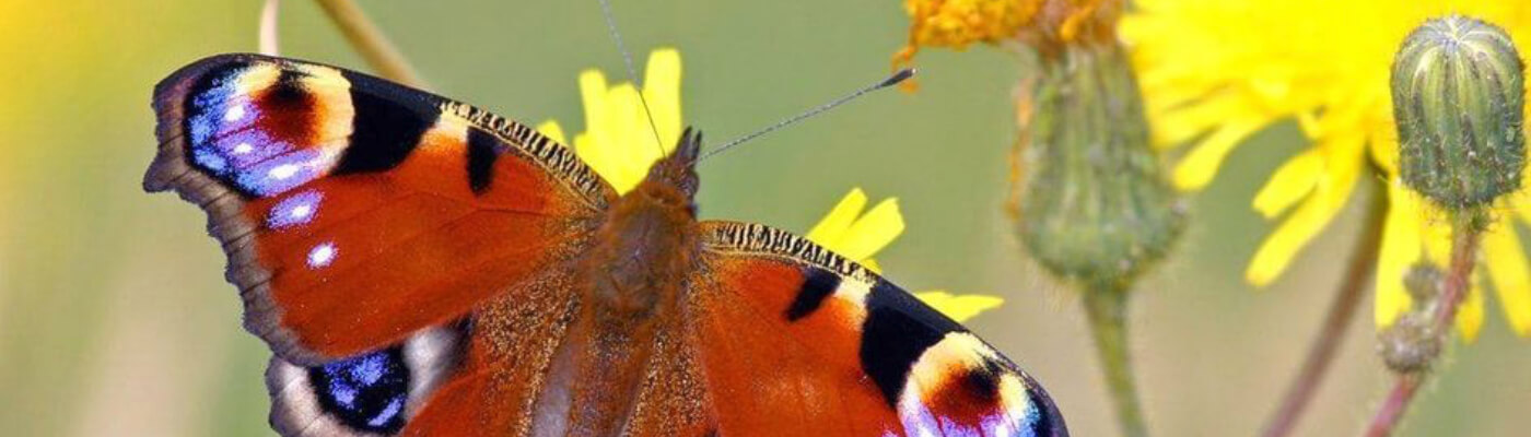 butterly on flowers
